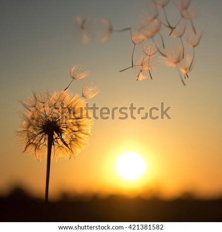 Stock Photo Dandelion against the backdrop of the setting sun. Lightness concept.