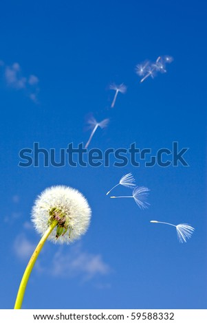 Dandelion and flying away fuzzes