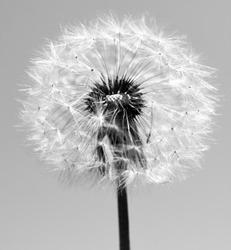 dandelion black and white photo, art