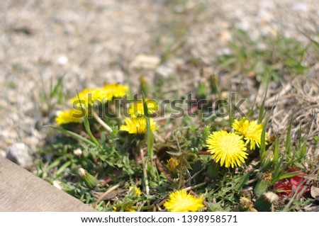 Dandelion blooming on the ground