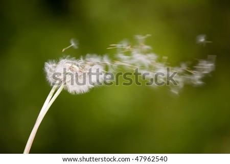 Dandelion blowing into wind on soft green background