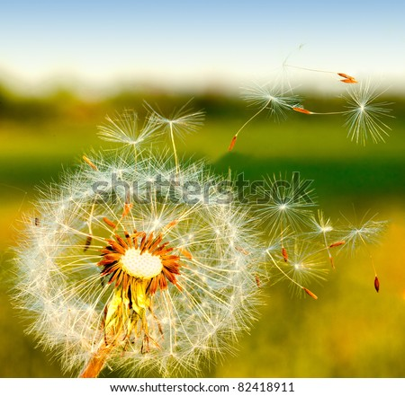 dandelion blowing seeds in the wind.