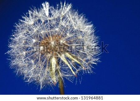 dandelion blue - stock photo