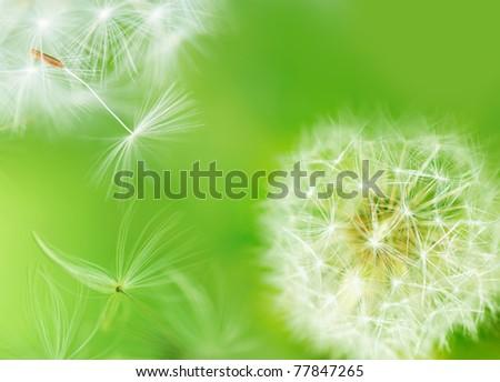 Dandelion breaking free