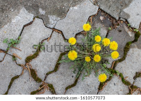 dandelion Bush grows in the pavement tiles close-up. A flower breaks through a pavement slab-a concept of perseverance and the power of nature.