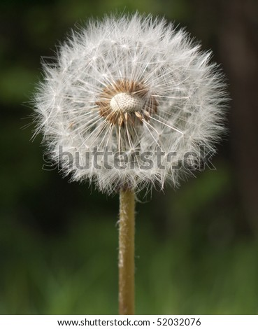 Dandelion clock - stock photo