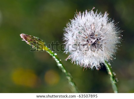 Dandelion 'clock'  and dandelion bud covered with dew. Selective focus