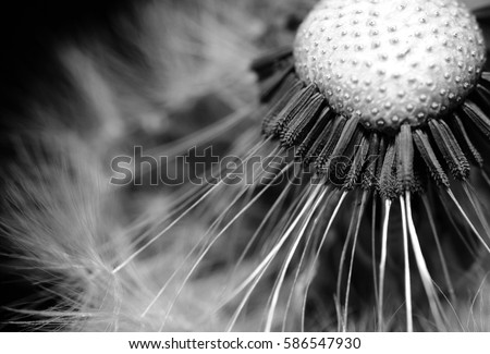 Dandelion clock, close-up, macro, black and white