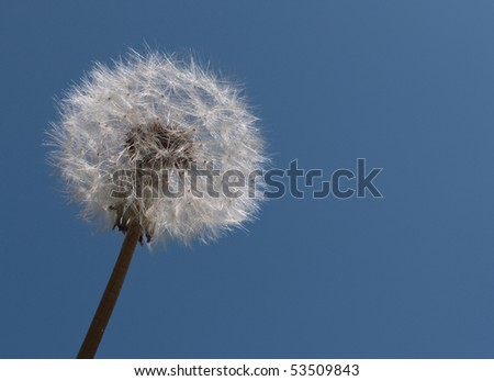 Dandelion clock in blue sky