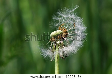 Dandelion clock in front of a green background