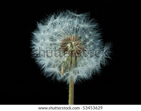 Dandelion clock on black