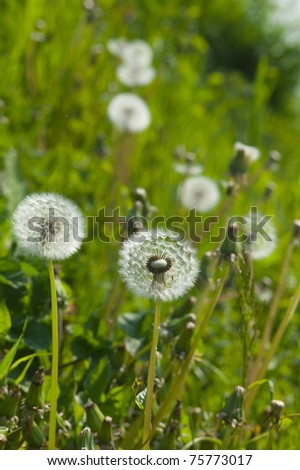 Dandelion clocks in a field