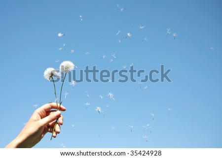 Dandelion Clocks in Woman's Hand
