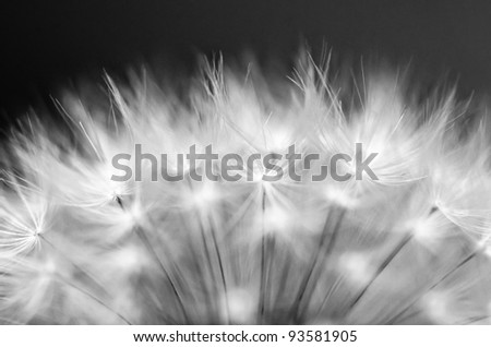 Dandelion close up in Monochrome colors