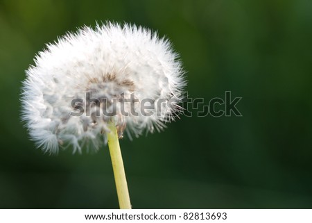 Dandelion close up in natural conditions. Shallow depth of field
