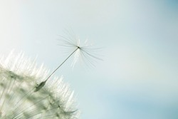 Dandelion close up isolated in nice warm background. Macro photo