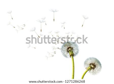Dandelion. Close up of dandelion spores blowing away,blue sky background #1271286268