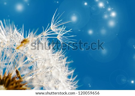 dandelion close up over blue background
