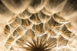 dandelion close-up with backlit black background