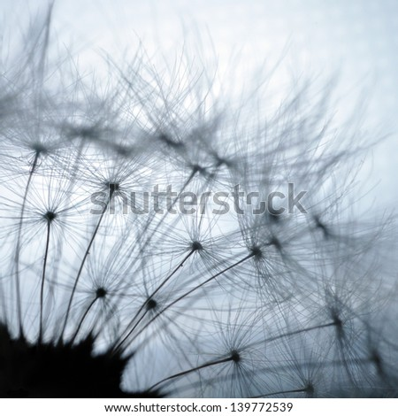 Dandelion closeup macro abstraction on white background