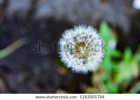 Dandelion closeup, macro, summer white flowers, base for picture, background, postcard, on blurred background