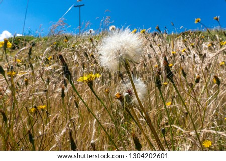 dandelion, daisies and wheat in Boyacá Colombia #1304202601