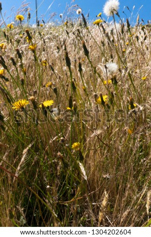 dandelion, daisies and wheat in Boyacá Colombia #1304202604