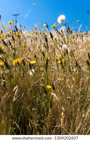 dandelion, daisies and wheat in Boyacá Colombia #1304202607