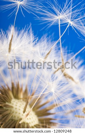 dandelion detail isolated on blue background