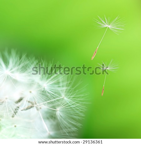 dandelion detail isolated on green background - stock photo