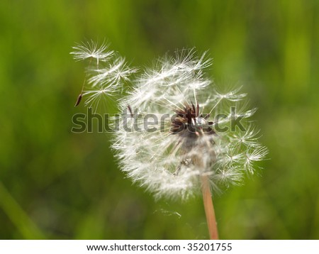 Dandelion disseminates seeds on a wind