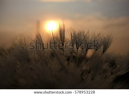 Dandelion during sunrise and sunset with dew. Slovakia #578953228