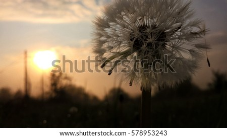 Dandelion during sunrise and sunset with dew. Slovakia #578953243
