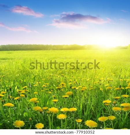 Dandelion field and beautiful sunset.