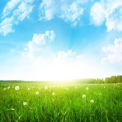 Dandelion field,blue sky and sun.