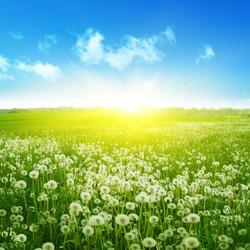 Dandelion field,blue sky and sunlight.