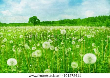 dandelion field in grunge style.