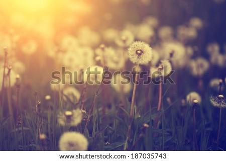 Dandelion field in sunset