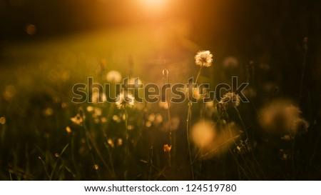 Dandelion field in sunset. Wide 16:9 photo. #124519780