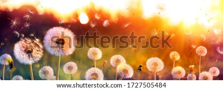 Dandelion Field With Flying Seeds At Sunset Foto stock ©
