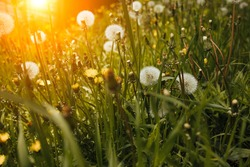 dandelion flower against the background of the summer landscape.