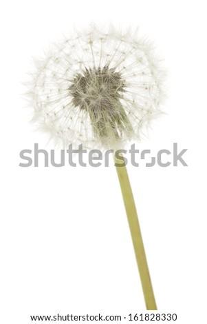 Dandelion flower against white background