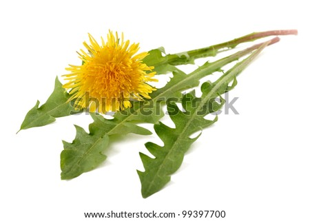 Dandelion flower and dandelion isolated on white background