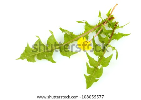 dandelion flower and leaves isolated on white