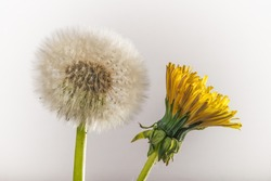 Dandelion Flower and seed pod isolated on a light background.