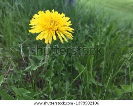 Dandelion flower close up macro yellow bloom spring weed grass garden yard care