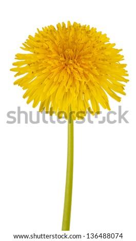 Dandelion flower isolated on white background.