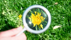 Dandelion flower on a green lawn being studied with a magnifying glass. Small dandelion became closer. Looking close-up through magnifier on dandelion. Exploring nature in meadow