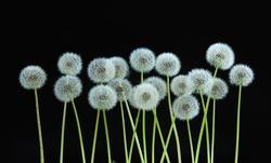 dandelion flower on black color background, many closeup object