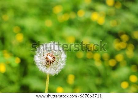 Dandelion flower with blurred background